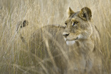Okavango Delta, Botswana. Close-up of Lion Standing in Tall Grass Photo by Janet Muir
