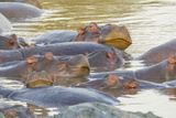Herd of Hippos Grouped Together, Resting in Water, Sleeping Photo by James Heupel
