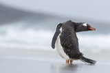 Gentoo Penguin (Pygoscelis Papua) on the Falkland Islands Photographic Print by Martin Zwick