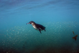 Galapagos Penguin (Spheniscus Mendiculus), Galapagos Islands, Ecuador Photographic Print by Pete Oxford