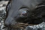 Galapagos Fur Seal, Galapagos Islands, Ecuador Photographic Print by Pete Oxford