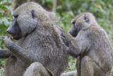 Sitting Yellow Baboon Grooms the Back of an Adult, Arusha NP, Tanzania Photo by James Heupel