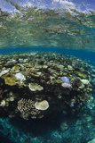 Coral Reef Diversity, Fiji Photographic Print by Pete Oxford