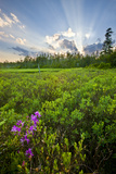 Rhodora Blooms in a Bog in New Hampshire's White Mountains Photographic Print by Jerry & Marcy Monkman