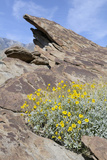 California, Palm Springs, Indian Canyons. Desert Marigold Photographic Print by Kevin Oke