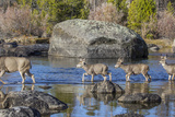 Wyoming, Sublette Co, Mule Deer Doe and Fawns Crossing a River Photographic Print by Elizabeth Boehm
