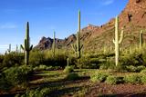 Organ Pipe Cactus National Monument, Ajo Mountain Drive in the Desert Reprodukcja zdjęcia autor Richard Wright