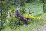 USA, Colorado, Rocky Mountain National Park. Bull Elk Grazing Photographic Print by Cathy & Gordon Illg