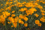 California Poppies, Montana de Oro SP, Los Osos, California Photographic Print by Rob Sheppard
