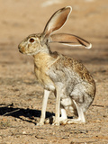 Antelope Jackrabbit. Largest of the North American Hares, Arizona Photographic Print by Richard Wright