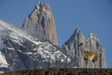Guanaco with Cordiera del Paine, Torres del Paine, Patagonia, Chile Photographic Print by Pete Oxford