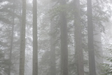 Lady Bird Johnson Grove in Fog, Prairie Creek Redwoods SP, California Photographic Print by Rob Sheppard