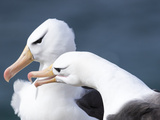 Black-Browed Albatross Greeting Courtship Display. Falkland Islands Reproduction photographique par Martin Zwick
