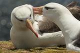 Falkland Islands, Saunders Island. Black-Browed Albatross Courtship Papier Photo par Cathy & Gordon Illg