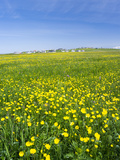 Isle of Lewis, Machair with Buttercup Wildflowers. Scotland Photographic Print by Martin Zwick