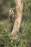 USA, Arizona, Santa Rita Mountains, Arizona, Woodpecker on Tree Trunk Photographic Print by Wendy Kaveney