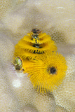 Christmas Tree Worm (Spirobranchus), Fiji Photographic Print by Pete Oxford