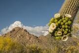 USA, Arizona, Saguaro NP. Close-up of Saguaro Cactus Blossoms Photographic Print by Cathy & Gordon Illg