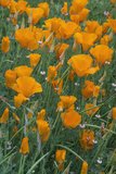 California, Santa Barbara Botanical Garden, California Poppy Photographic Print by Rob Tilley