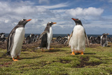 Falkland Islands, Bleaker Island. Gentoo Penguin Colony Photographic Print by Cathy & Gordon Illg