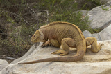 Ecuador, Galapagos National Park. Land Iguana on Boulder Photographic Print by Cathy & Gordon Illg