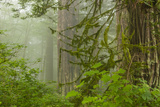 USA, California, Redwoods NP. Fog in Ladybird Johnson Grove Photographic Print by Cathy & Gordon Illg