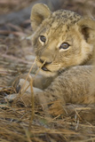 Okavango Delta, Botswana. A Close-up of a Lion Cub Photo by Janet Muir