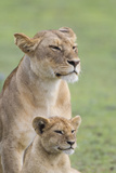 Lioness with its Female Cub, Standing Together, Side by Side Photo by James Heupel