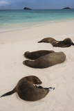Galapagos Sea Lions Gardner Bay, Hood Island, Galapagos, Ecuador Photographic Print by Pete Oxford