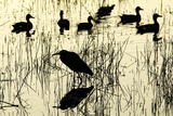 Heron and Ducks, Loxahatchee NWR, Everglades, Florida Photographic Print by Rob Sheppard
