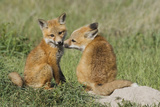 Red Fox Kits Playing Photographic Print by Ken Archer