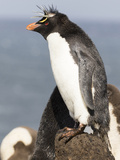 Rockhopper Penguin. Falkland Islands Photographic Print by Martin Zwick