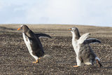 Falkland Islands. Gentoo Penguin Chicks Only Fed after a Wild Pursuit Photographic Print by Martin Zwick