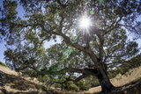 Rob Sheppard - Spreading Oak Tree with Sun, Sonoma, California Fotografická reprodukce
