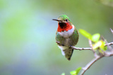 A Ruby-Throated Hummingbird, One of the Most Common of the Hummers Photographic Print by Richard Wright