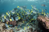 Yellowtail Surgeonfish, Galapagos Islands, Ecuador Photographic Print by Pete Oxford
