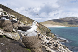 Black-Browed Albatross or Mollymawk, Colony. Falkland Islands Reproduction photographique par Martin Zwick