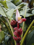 Hawaii Islands, Honolulu, 1100 Alakea St., Banana Flowers, Close-up Photographic Print by Douglas Peebles