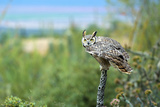 The Great Horned Owl, also known as the Tiger Owl Reprodukcja zdjęcia autor Richard Wright