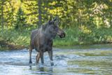 USA, Colorado, Rocky Mountain NP. Male Moose Crossing Colorado River Photographic Print by Cathy & Gordon Illg