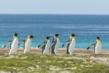 Falkland Islands, East Falkland. King Penguins Walking Photographic Print by Cathy & Gordon Illg