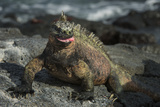 Marine Iguana, Fernandina Island, Galapagos Islands, Ecuador Photographic Print by Pete Oxford