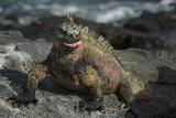 Marine Iguana, Fernandina Island, Galapagos Islands, Ecuador Photographic Print by Pete Oxford
