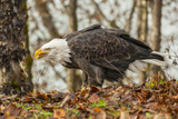 USA, Alaska, Chilkat Bald Eagle Preserve. Bald Eagle on Ground Photographic Print by Cathy & Gordon Illg