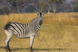 Okavango Delta, Botswana, Africa. Profile View of a Plains Zebra Photo by Janet Muir