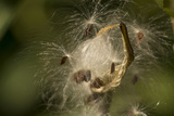 Milkweed Pod Opens, Garden, Los Angeles, California Photographic Print by Rob Sheppard