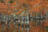 USA, Georgia, Fall Cypress Trees at George Smith State Park Photographic Print by Joanne Wells