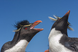 Falkland Islands, Bleaker Island. Rockhopper Penguins Greeting Photographic Print by Cathy & Gordon Illg