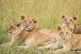 Kenya, Maasai Mara, Mara Triangle, Mara River Basin, Lioness with Cubs Photo by Alison Jones