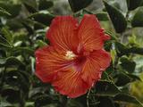 Hawaii Islands, Hibiscus Flower, Close-up Reproduction photographique par Douglas Peebles